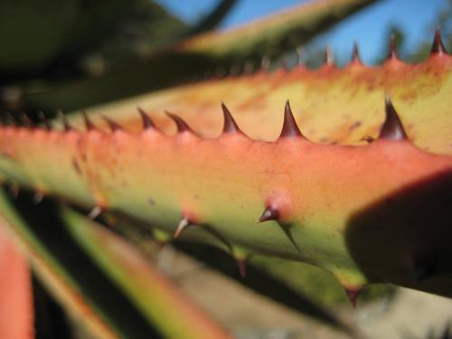 More cactus pricklies